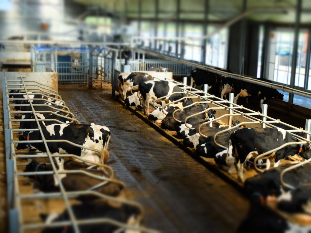 black and white dairy cows in barn
